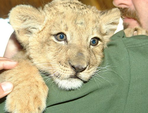 Lion Cubs Join Rehabilitation Centre