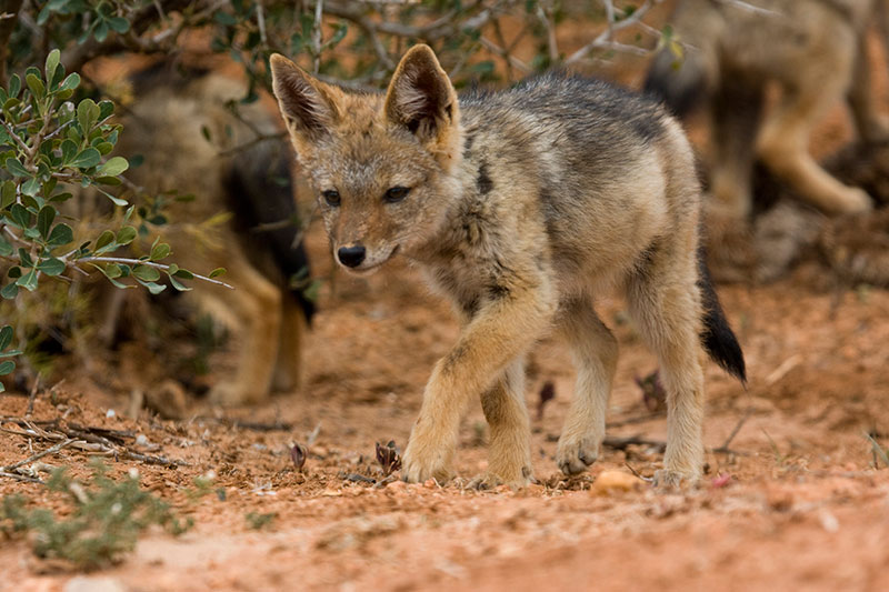 blackbacked jackal