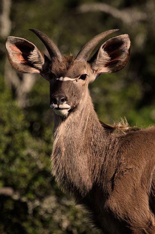 kudu ram